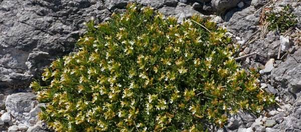 Trava Iva (teucrium montanum), u narodu poznata kao gorski cmilj ili ...: http://www.dijetaizdravlje.com/lekovito-bilje/trava-iva-caj-lekovitost/
