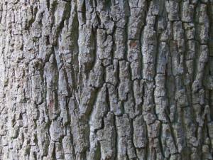 caj od kore hrasta breze