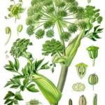 Angelika-čaj od angelike i lekoviti preparati