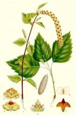 Breza- čaj i sok od breze