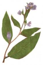 Gavez-uvarak i čaj od gaveza
