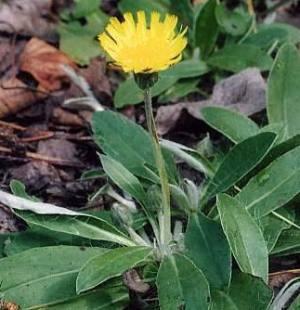 lišajevica caj biljka
