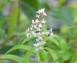 Biljka citronovac-verbena čaj lekovito dejstvo