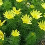 Gorocvet i lekovita i otrovna biljka