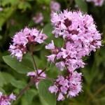 Origano – prirodni lek protiv gasova i nadutosti stomaka