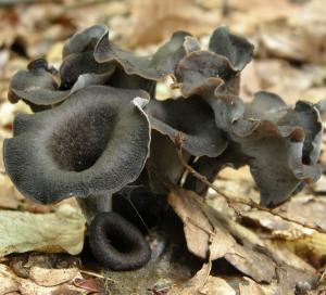 Gljiva crna truba (trubača)