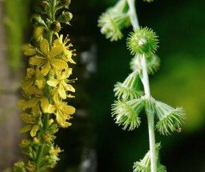 petrovac biljka