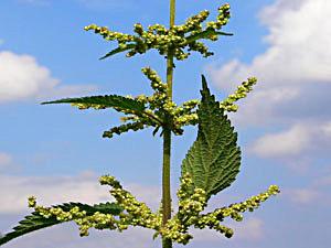 Seme koprive i med kao moćni lek