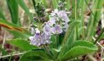 Lekovita biljka čestoslavica – primena – čaj