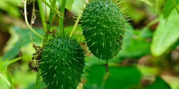 Divlji krastavac i kapi divljeg krastavca odličan lek za sinuse