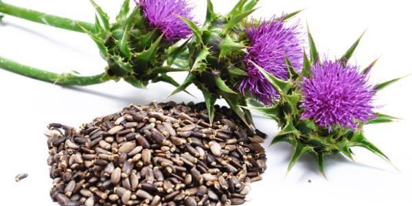 Lekovita biljka sikavica – čaj od sikavice (gujine trave)